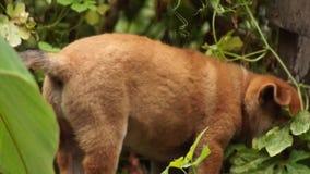 Brown Puppy dog wanders in backyard garden. Close up stock video