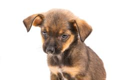 Brown puppy Stock Images
