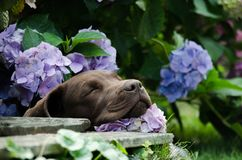 Brown labrador puppy sleeping in a flower bush royalty free stock images