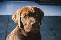 Brown puppy labrador retriever dog sitting at sunset stock photo