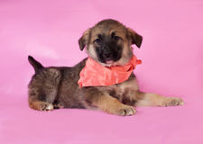 Brown puppy in orange bandanna lying on pink Royalty Free Stock Photos