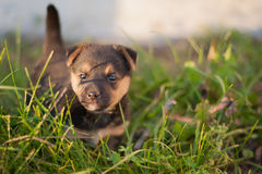 Brown puppy with a raised tail Royalty Free Stock Image