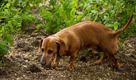 Brown puppy rate in park Royalty Free Stock Photos