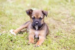 Brown puppy resting in the grass Royalty Free Stock Images