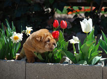 Brown puppy of sharpei smelling Stock Photo