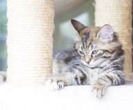 brown puppy of siberian breed playing on the scratching post Royalty Free Stock Images