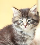 Brown puppy of siberian cat at one month. View of siberian puppy of cat ,brown version at one month Royalty Free Stock Photos