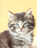 Brown puppy of siberian cat at one month. View of siberian puppy of cat ,brown version at one month Stock Photos