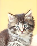 Brown puppy of siberian cat at one month. View of siberian puppy of cat ,brown version at one month Stock Photography