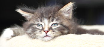 Brown puppy of siberian cat at one month. View of siberian puppy of cat ,brown version at one month Stock Photo