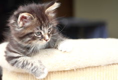 Brown puppy of siberian cat at one month. View of siberian puppy of cat ,brown version at one month Royalty Free Stock Photo
