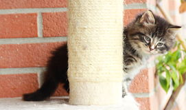 Brown puppy of siberian cat at one month. View of siberian puppy of cat ,brown version at one month on the scratching post Stock Photo
