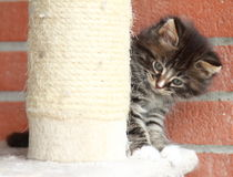 Brown puppy of siberian cat at one month. View of siberian puppy of cat ,brown version at one month on the scratching post Stock Images