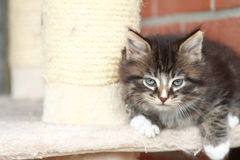 Brown puppy of siberian cat at one month. View of siberian puppy of cat ,brown version at one month on the scratching post Royalty Free Stock Photos