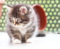 Brown puppy of siberian cat at one month. View of siberian puppy of cat ,brown version at one month on the scratching post Stock Image