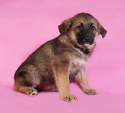 Brown puppy sitting on pink Royalty Free Stock Photography