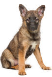 Brown puppy sitting on white background Royalty Free Stock Photo