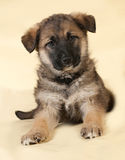 Brown puppy sitting on yellow Royalty Free Stock Photography