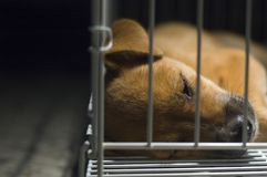 Brown Puppy Sleeping In Cage. A young brown puppy lockup in cage sleeping Royalty Free Stock Images