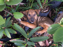 Brown Puppy Sleeping Twinkle. In The Garden royalty free stock photography
