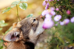 Brown puppy smelling flowers Royalty Free Stock Photography