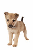 Brown Puppy on White Royalty Free Stock Photo