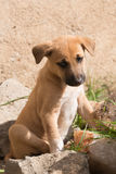 Brown puppy with white socks looking down Royalty Free Stock Image