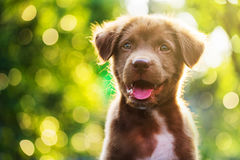 Free Brown Puppy With Bokeh Background Royalty Free Stock Photo - 87364135