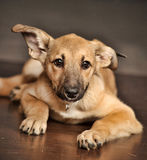 Brown purebred puppy Stock Photo