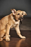 Brown purebred puppy Stock Images
