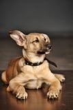 Brown purebred puppy Stock Photo