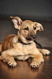 Brown purebred puppy Royalty Free Stock Photos