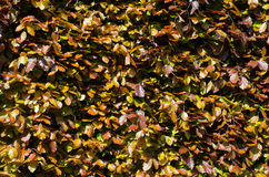 Brown and purple leaves in hedging Stock Photos