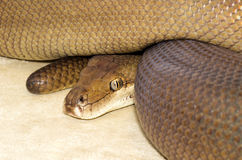 Brown Python. Curled up watching Stock Image