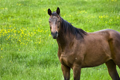 Brown Quarter Horse Royalty Free Stock Photos