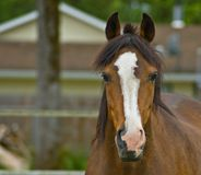 Brown quarter horse close up. Brown quarter horse portrait close up in a country setting Royalty Free Stock Images