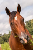 Brown Quarter Horse Royalty Free Stock Photo