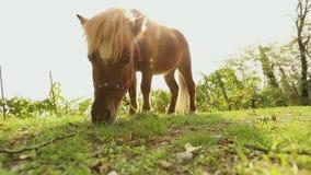 Brown que le petit cheval frôle sur un pré, petit cheval mange l'herbe, plan rapproché, poney brun clips vidéos