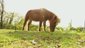 Brown que le petit cheval frôle sur un pré, petit cheval mange l'herbe, plan rapproché, poney brun banque de vidéos