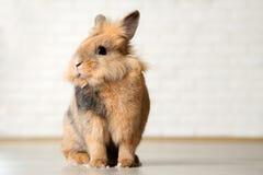 Free Brown Rabbit Stock Photo - 121158550