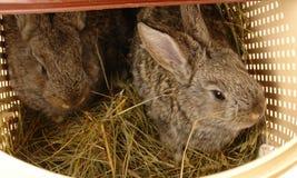 Brown rabbit royalty free stock photo