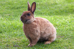Brown rabbit Royalty Free Stock Image