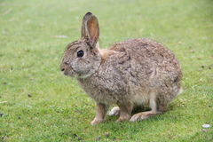Brown Rabbit. Rabbit on the green grass in the Netherlands Stock Photos