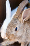 The brown rabbit Royalty Free Stock Images