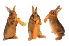 Brown rabbit Stock Image