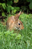 Brown rabbit. Lied on green grass near people house Royalty Free Stock Photos