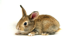 Brown Rabbit. Cute rabbit with brown fur and black eyes royalty free stock image