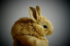 Brown Rabbit Stock Images