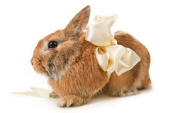 Brown rabbit with a beige bow Royalty Free Stock Image