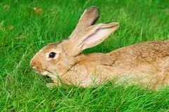 Brown rabbit bunny on grass Royalty Free Stock Photos